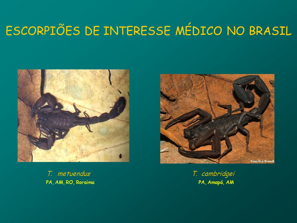 ESCORPIÕES DE INTERESSE MÉDICO NO BRASIL T.T.metuendus PA, AM, RO, Roraima T.