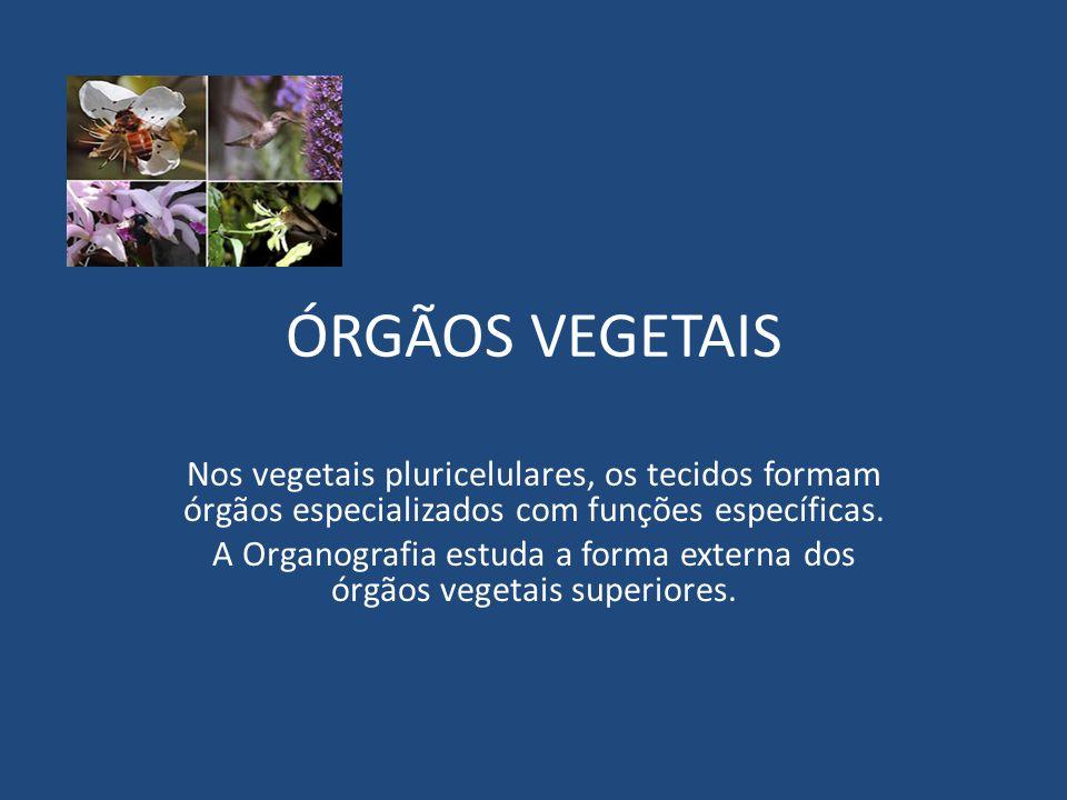 ÓRGÃOS VEGETAIS Nos vegetais pluricelulares, os tecidos formam órgãos especializados com funções específicas. A Organografia estuda a forma externa do