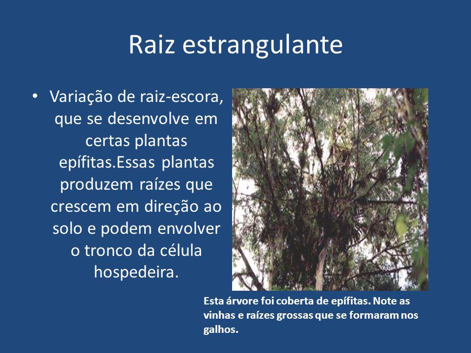 Raiz estrangulante Variação de raiz-escora, que se desenvolve em certas plantas epífitas.Essas plantas produzem raízes que crescem em direção ao solo