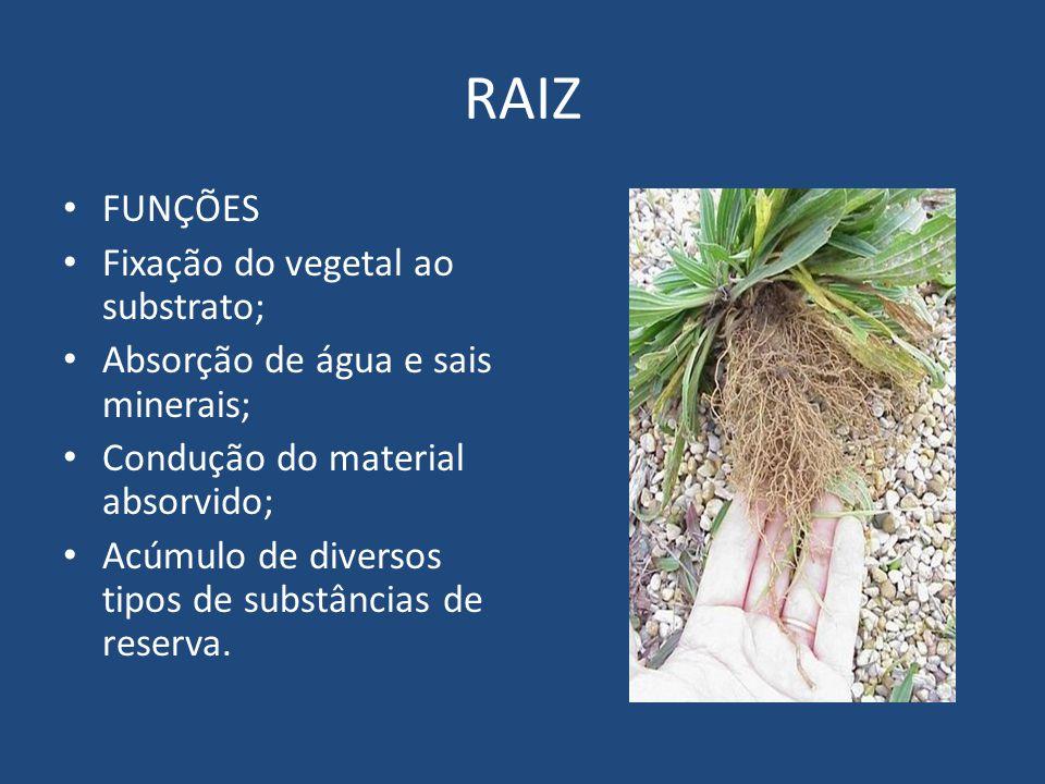 RAIZ FUNÇÕES Fixação do vegetal ao substrato; Absorção de água e sais minerais; Condução do material absorvido; Acúmulo de diversos tipos de substânci