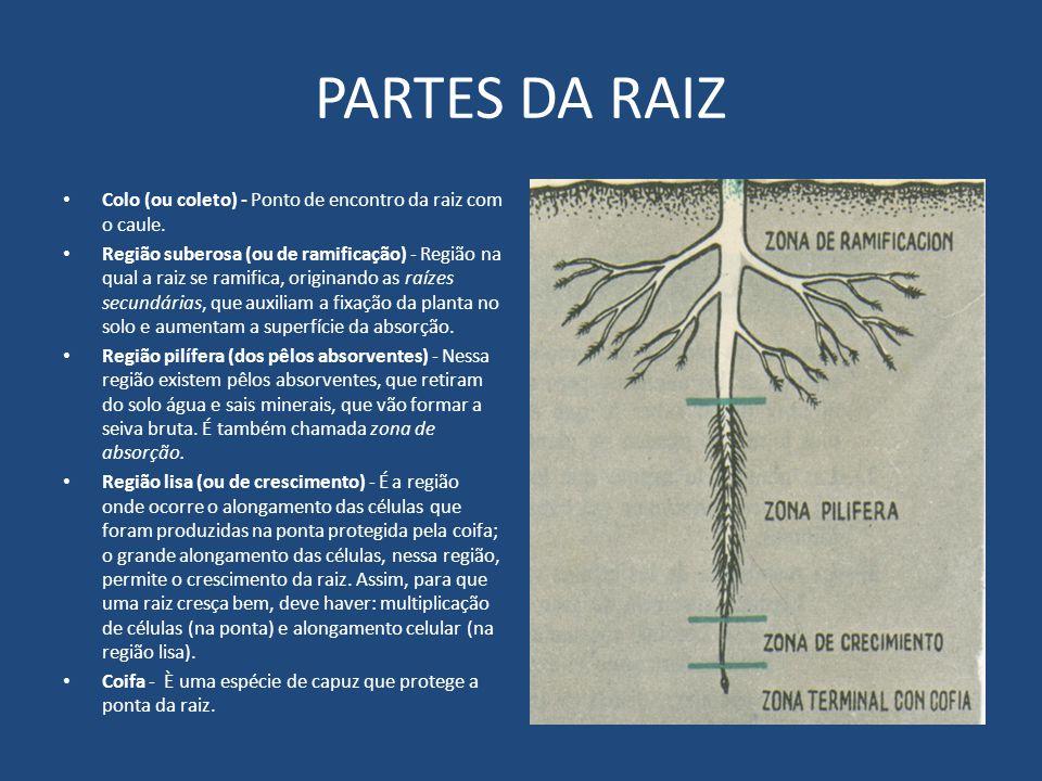 PARTES DA RAIZ Colo (ou coleto) - Ponto de encontro da raiz com o caule. Região suberosa (ou de ramificação) - Região na qual a raiz se ramifica, orig