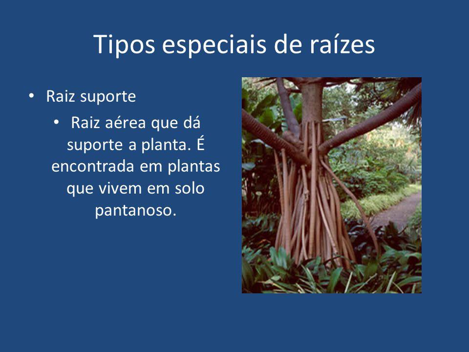 Raiz tabular Tipo particular de raiz suporte em que os ramos radiculares crescem e se fundem com o caule, formando verdadeiras tábuas.
