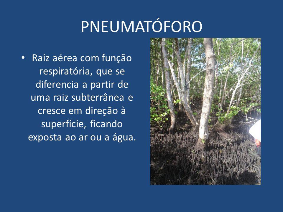 PNEUMATÓFORO Raiz aérea com função respiratória, que se diferencia a partir de uma raiz subterrânea e cresce em direção à superfície, ficando exposta