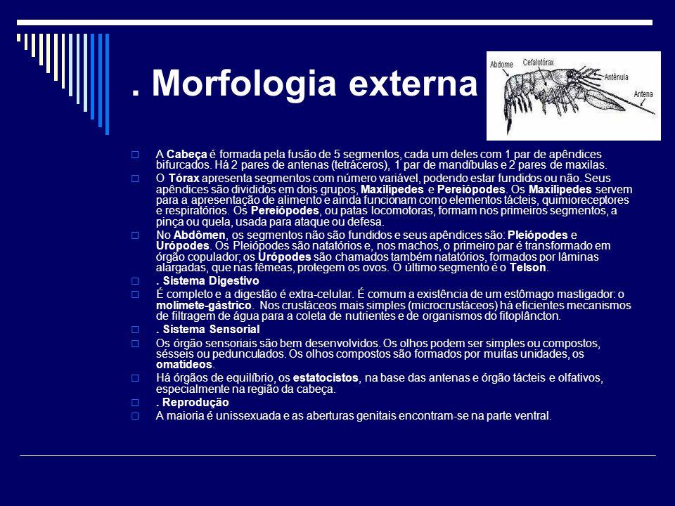 . Morfologia externa  A Cabeça é formada pela fusão de 5 segmentos, cada um deles com 1 par de apêndices bifurcados. Há 2 pares de antenas (tetrácero