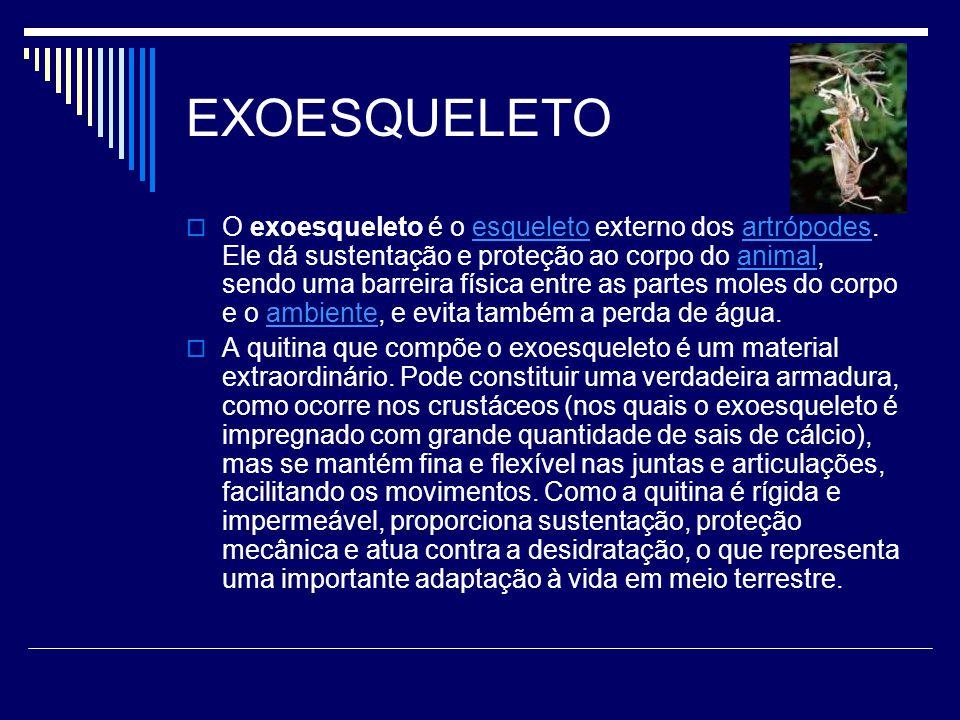 EXOESQUELETO  O exoesqueleto é o esqueleto externo dos artrópodes. Ele dá sustentação e proteção ao corpo do animal, sendo uma barreira física entre