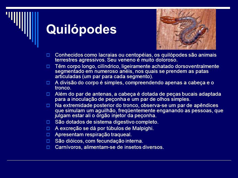 Quilópodes  Conhecidos como lacraias ou centopéias, os quilópodes são animais terrestres agressivos. Seu veneno é muito doloroso.  Têm corpo longo,
