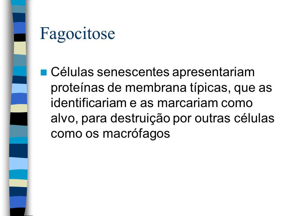 Fagocitose Células senescentes apresentariam proteínas de membrana típicas, que as identificariam e as marcariam como alvo, para destruição por outras células como os macrófagos