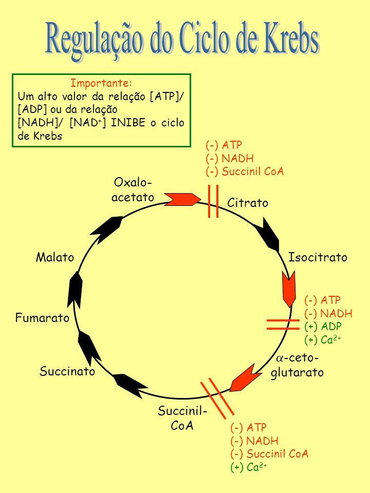 Oxalo- acetato Citrato MalatoIsocitrato  -ceto- glutarato Fumarato Succinato Succinil- CoA (-) ATP (-) NADH (-) Succinil CoA (-) ATP (-) NADH (+) ADP