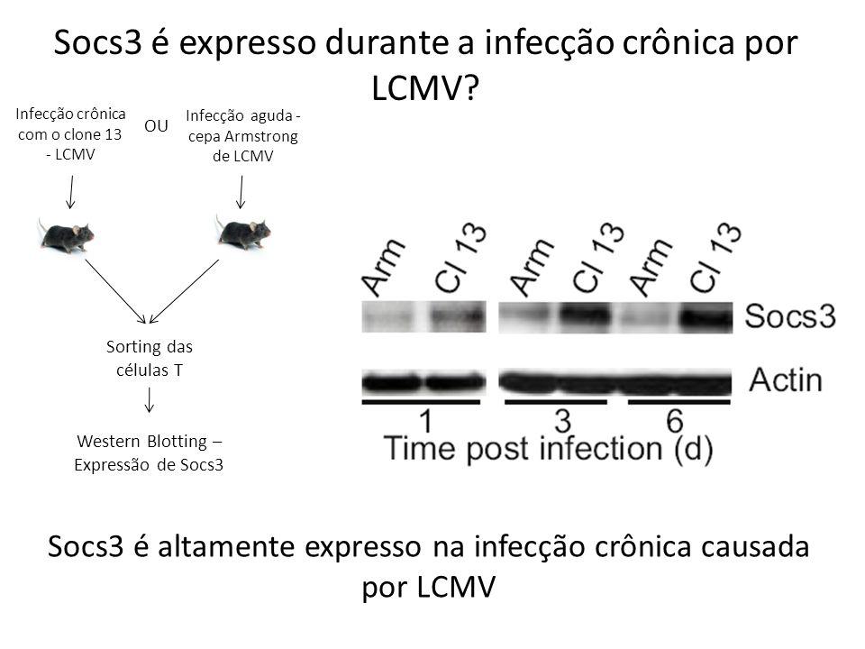 Socs3 é expresso durante a infecção crônica por LCMV? Infecção crônica com o clone 13 - LCMV Infecção aguda - cepa Armstrong de LCMV OU Sorting das cé
