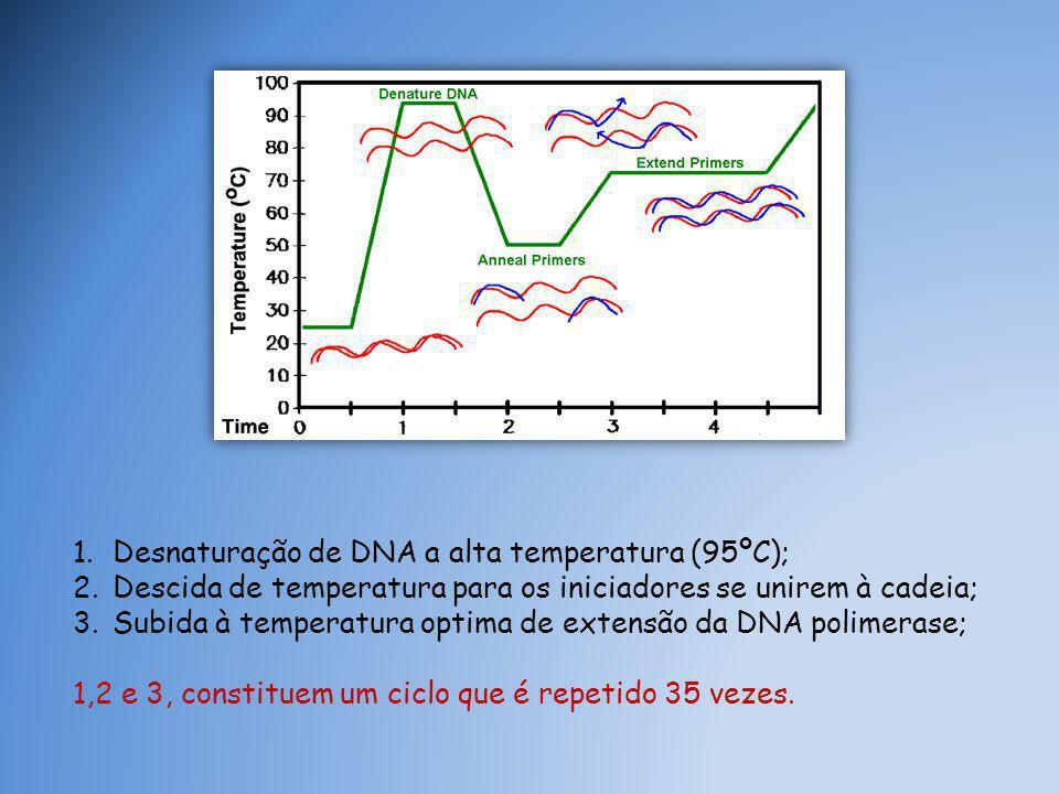 1.Desnaturação de DNA a alta temperatura (95ºC); 2.Descida de temperatura para os iniciadores se unirem à cadeia; 3.Subida à temperatura optima de extensão da DNA polimerase; 1,2 e 3, constituem um ciclo que é repetido 35 vezes.