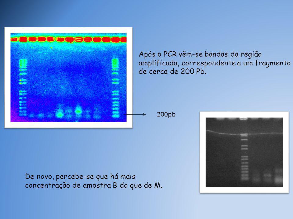 Após o PCR vêm-se bandas da região amplificada, correspondente a um fragmento de cerca de 200 Pb.