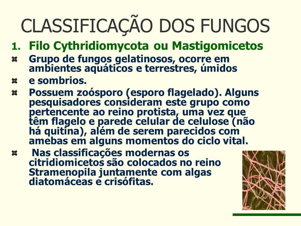 CLASSIFICAÇÃO DOS FUNGOS 1. Filo Cythridiomycota ou Mastigomicetos Grupo de fungos gelatinosos, ocorre em ambientes aquáticos e terrestres, úmidos e s