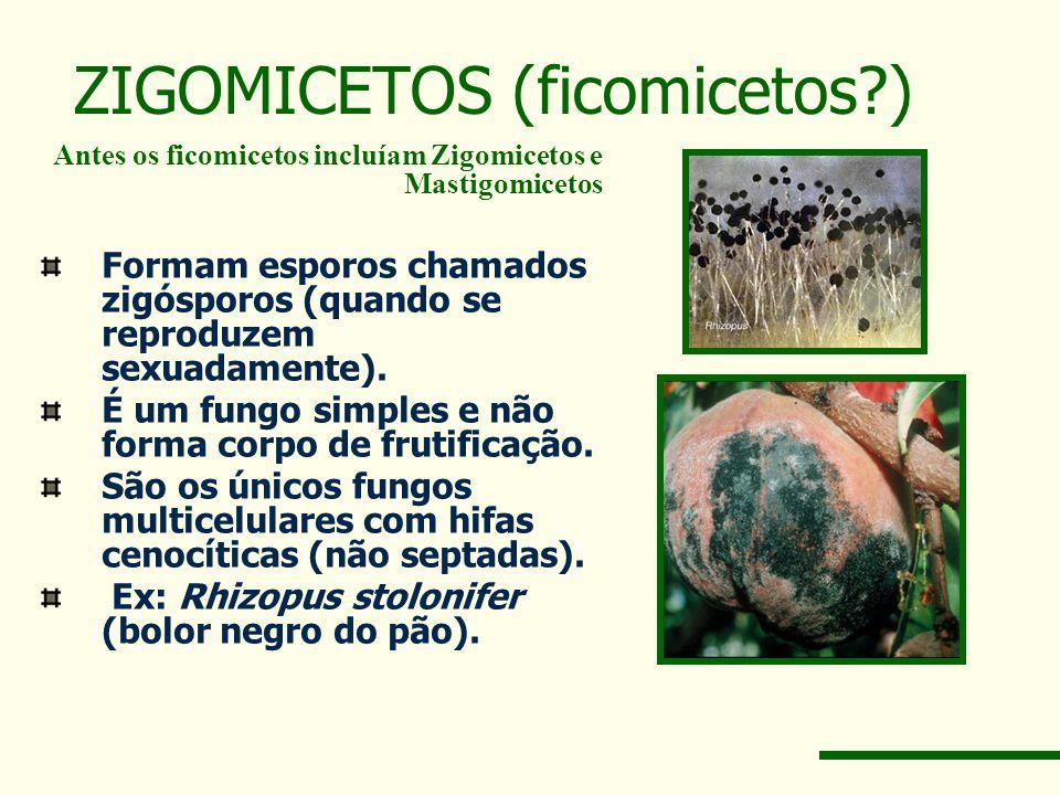 ZIGOMICETOS (ficomicetos?) Antes os ficomicetos incluíam Zigomicetos e Mastigomicetos Formam esporos chamados zigósporos (quando se reproduzem sexuadamente).