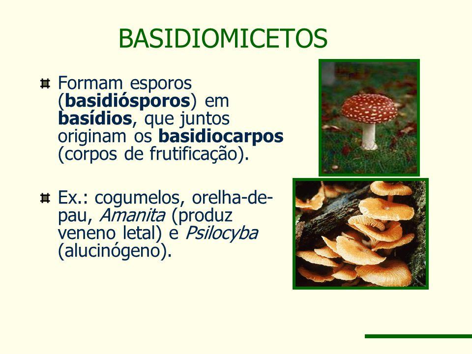 BASIDIOMICETOS Formam esporos (basidiósporos) em basídios, que juntos originam os basidiocarpos (corpos de frutificação). Ex.: cogumelos, orelha-de- p