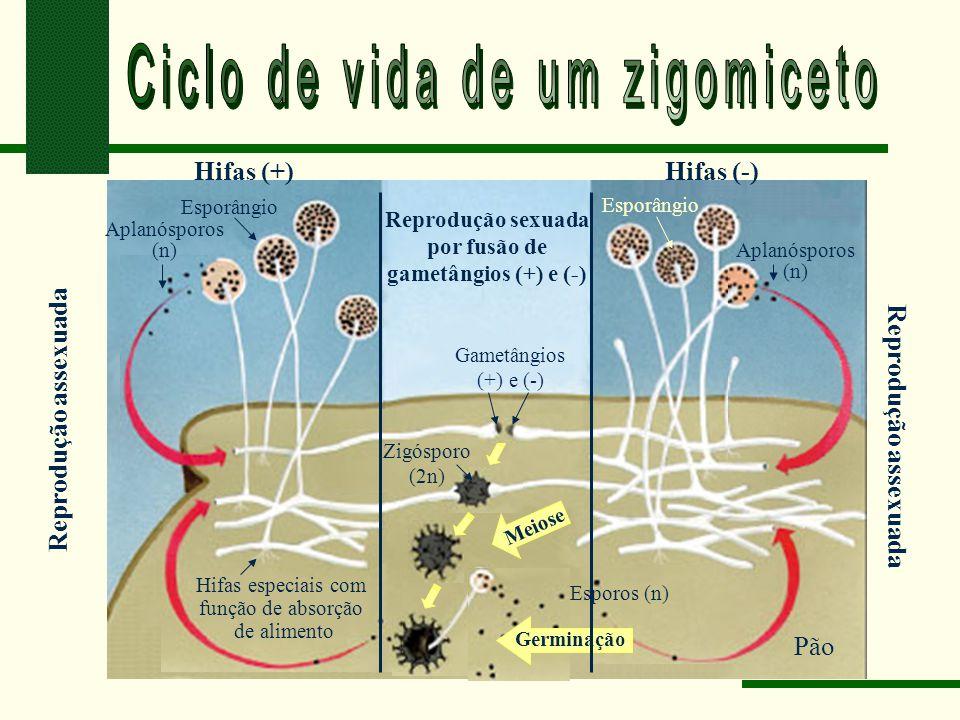 Esporângio Hifas (+)Hifas (-) Meiose Reprodução assexuada Reprodução sexuada por fusão de gametângios (+) e (-) Germinação Esporos (n) Aplanósporos (n) Aplanósporos (n) Gametângios (+) e (-) Zigósporo (2n) Pão Hifas especiais com função de absorção de alimento