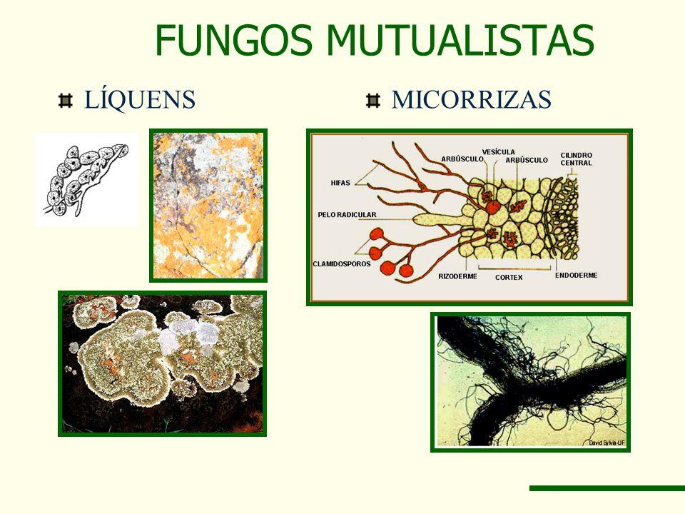 FUNGOS MUTUALISTAS LÍQUENSMICORRIZAS