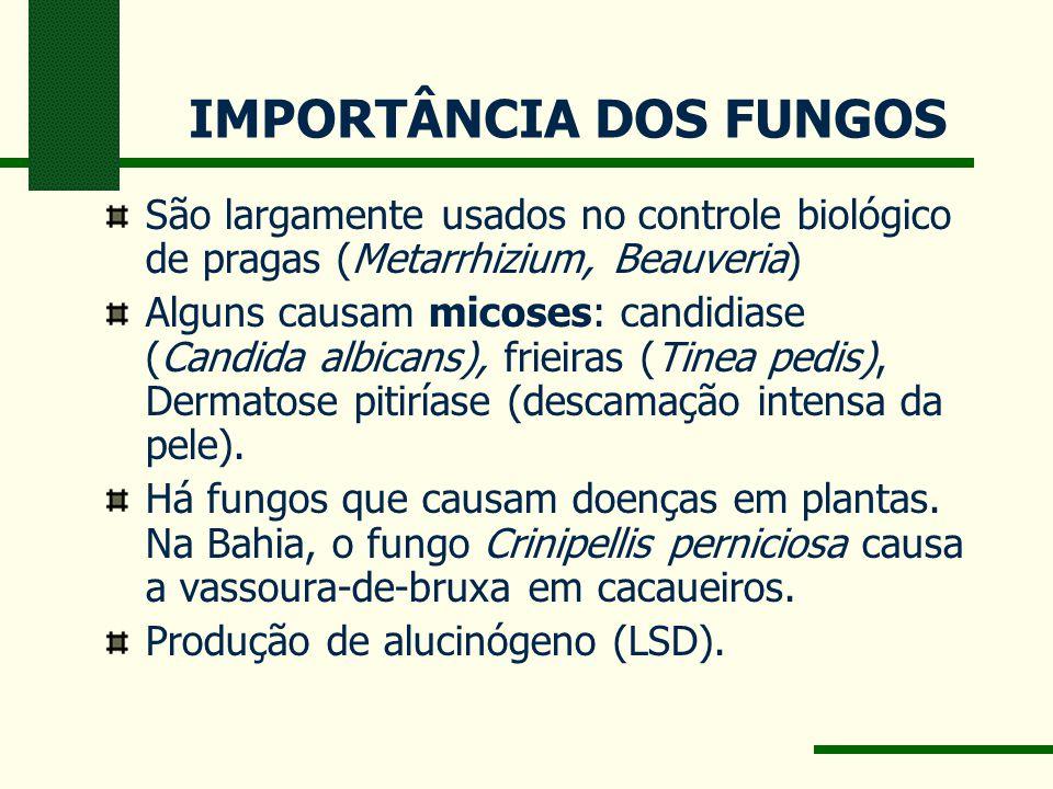 IMPORTÂNCIA DOS FUNGOS São largamente usados no controle biológico de pragas (Metarrhizium, Beauveria) Alguns causam micoses: candidiase (Candida albicans), frieiras (Tinea pedis), Dermatose pitiríase (descamação intensa da pele).