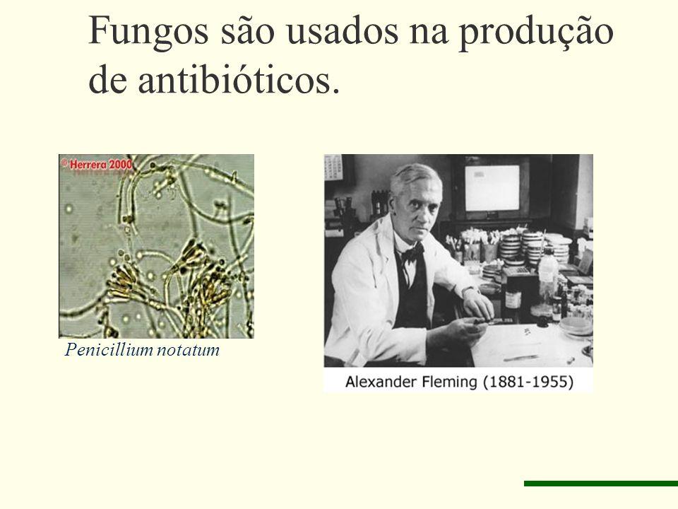 Fungos são usados na produção de antibióticos. Penicillium notatum