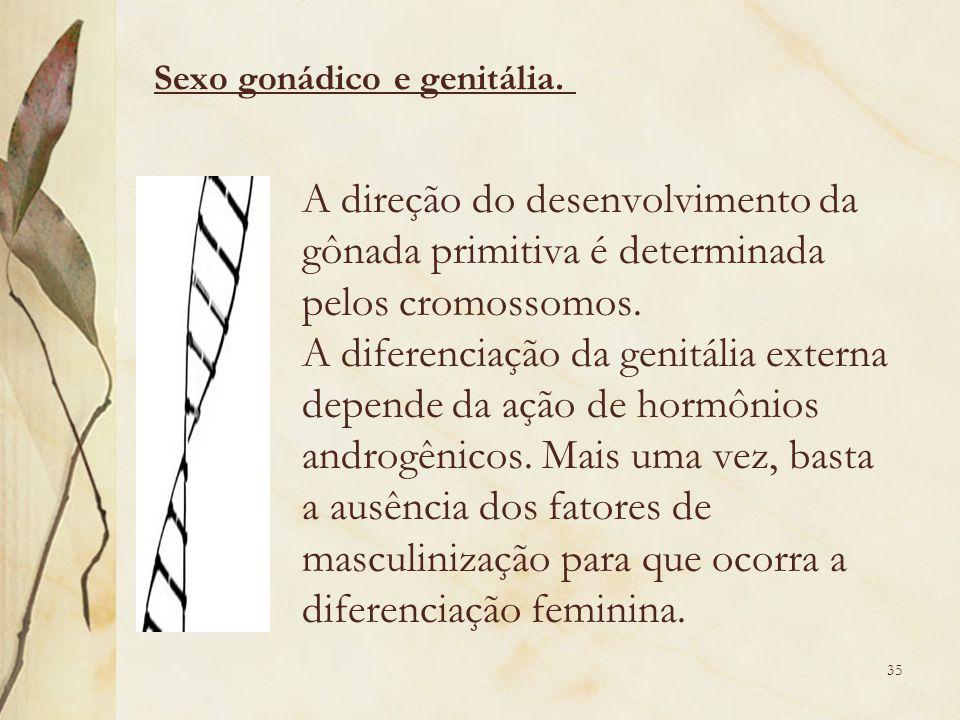 A direção do desenvolvimento da gônada primitiva é determinada pelos cromossomos.