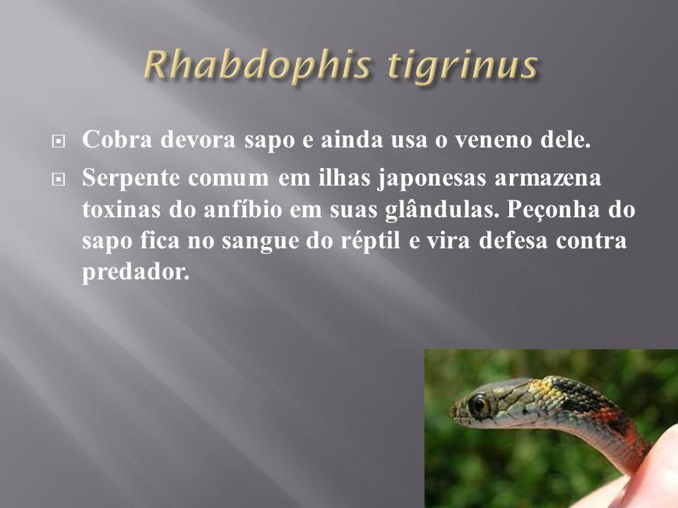  Cobra devora sapo e ainda usa o veneno dele.  Serpente comum em ilhas japonesas armazena toxinas do anfíbio em suas glândulas. Peçonha do sapo fica