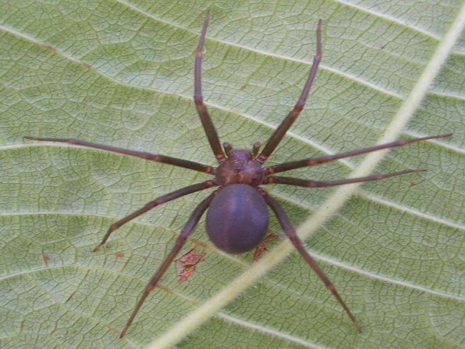  O gênero Latrodectus ( viúva negra ) – cuja espécie mais comum no Brasil é a Latrodectus curacaviensis -, ao contrário do que se verifica em outros países, é agente raro de acidente em nosso país.