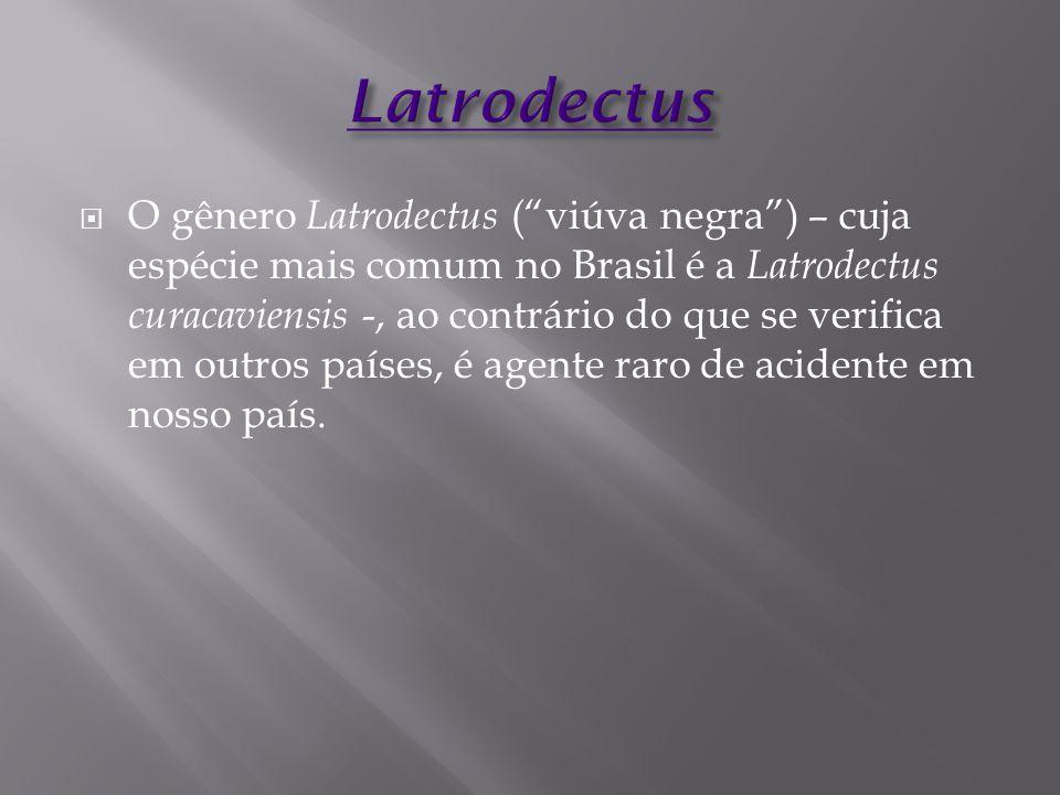 """ O gênero Latrodectus (""""viúva negra"""") – cuja espécie mais comum no Brasil é a Latrodectus curacaviensis -, ao contrário do que se verifica em outros"""