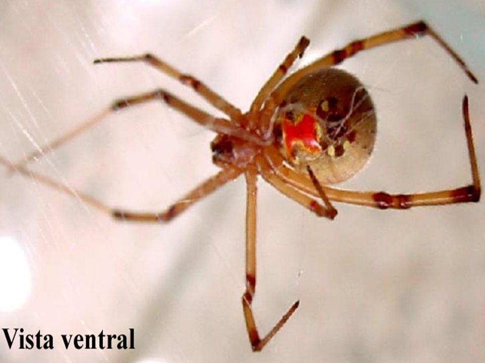  As aranhas do gênero Lycosa, chamadas de aranhas de jardins, são comumente encontradas nas residências; também causam acidentes leves, sem necessidade de tratamento específico.