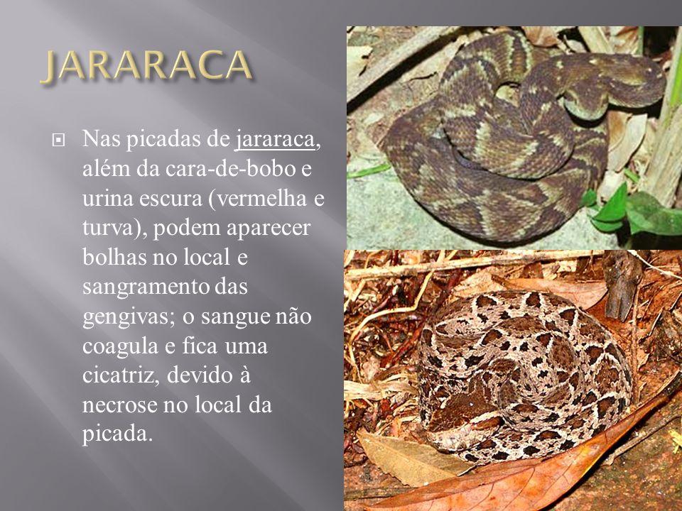  A cascavel é uma serpente inconfundível pela presença do chocalho ou gizo na extremidade da cauda, coloração geral é olivácea.