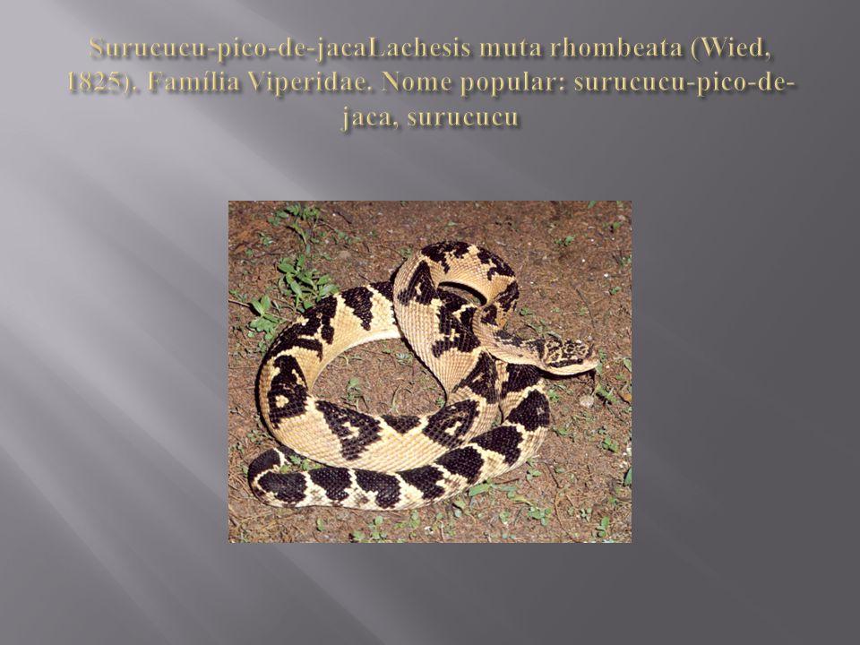  Constituem serpentes de grande porte, como o nome indígena representa surucucu grande serpente.