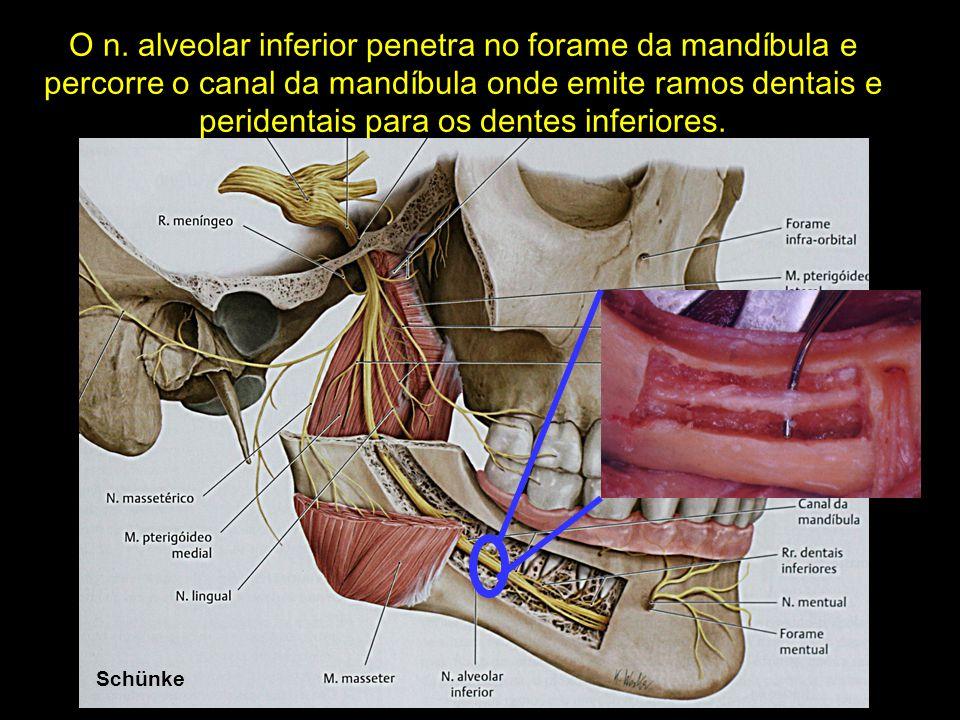 Netter Schünke O n. alveolar inferior penetra no forame da mandíbula e percorre o canal da mandíbula onde emite ramos dentais e peridentais para os de