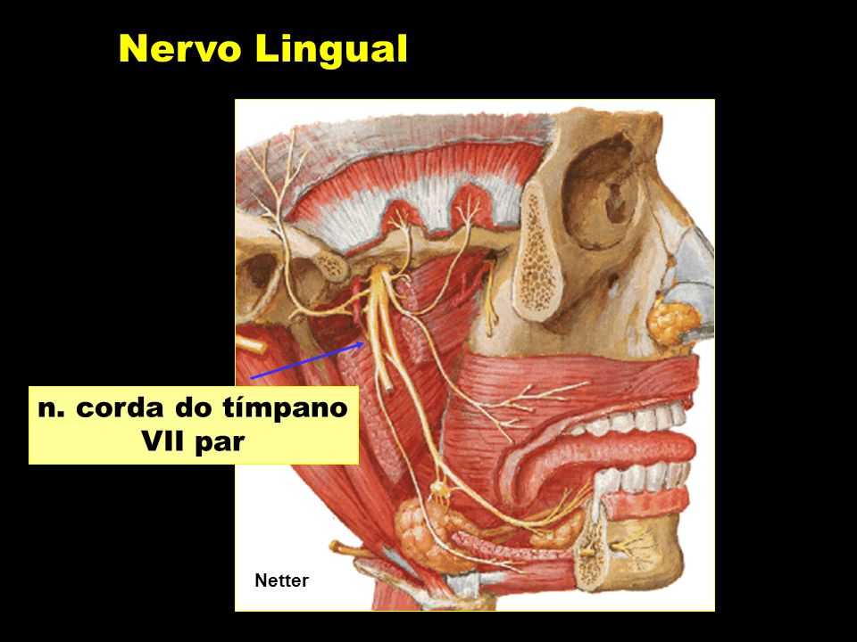 Nervo Lingual n. corda do tímpano VII par Netter