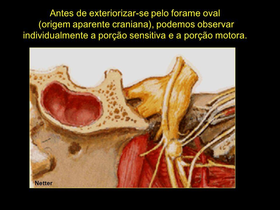 Netter Antes de exteriorizar-se pelo forame oval (origem aparente craniana), podemos observar individualmente a porção sensitiva e a porção motora.