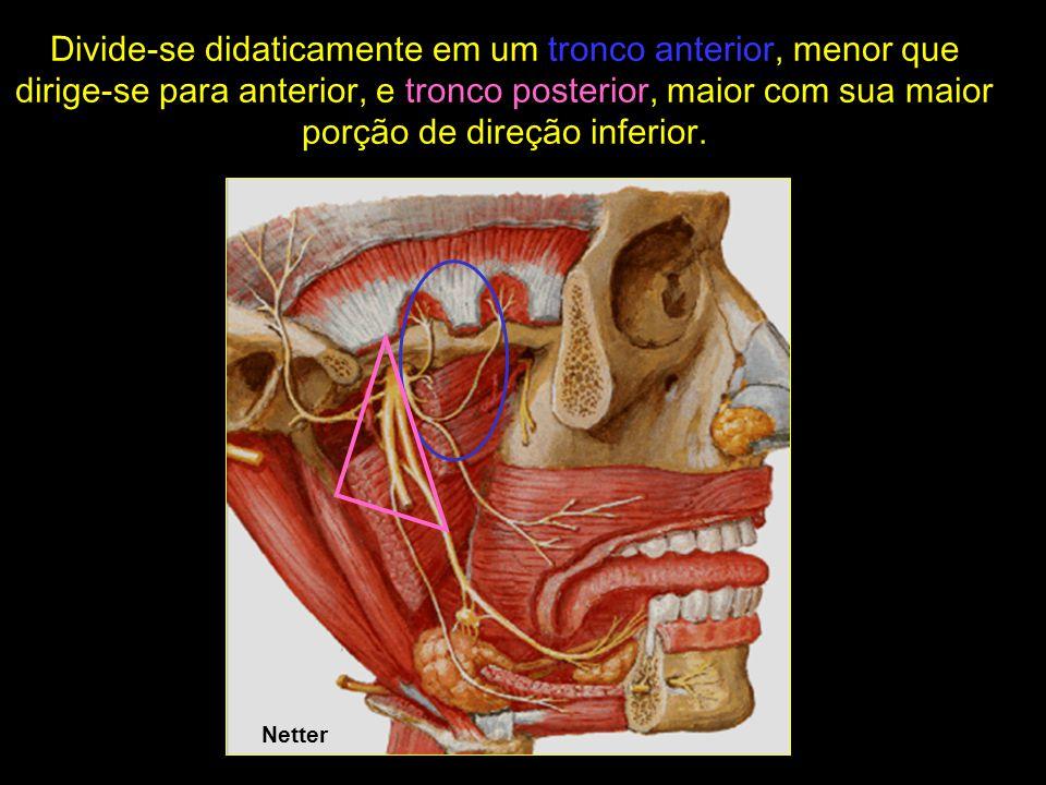 Netter O tronco anterior divide-se em dois outros troncos: -Tronco têmporo-masseterino (originando os nervos temporal profundo posterior e n.
