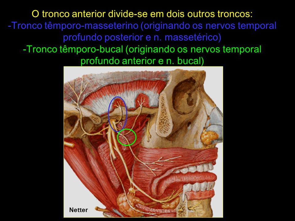 Schünke ns. temporais profundos n. bucal n. massetérico