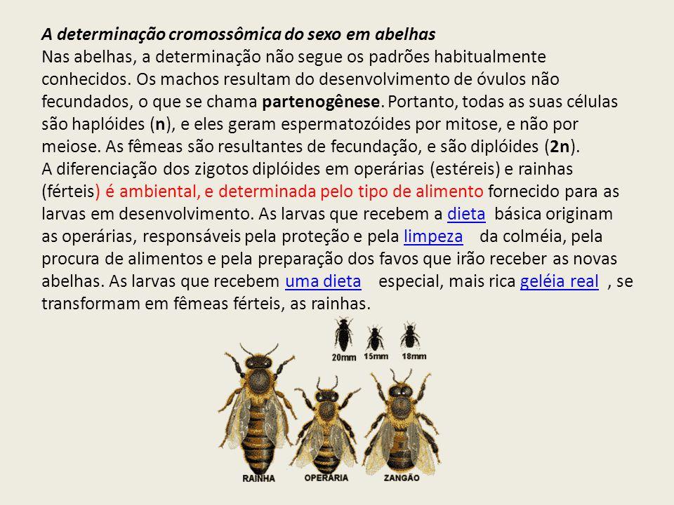 A determinação cromossômica do sexo em abelhas Nas abelhas, a determinação não segue os padrões habitualmente conhecidos. Os machos resultam do desenv
