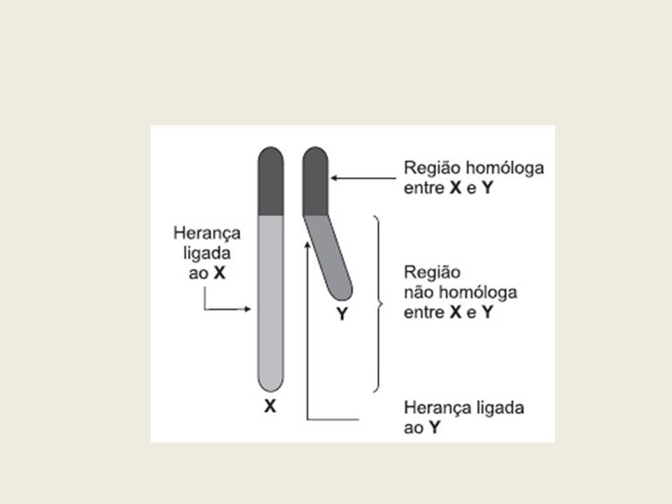 Herança restrita ao sexo ou ligada ao cromossomo Y: refere- se aos genes holândricos, genes localizados no segmento do cromossomo Y, sem homologia com o cromossomo X -Desenvolvimento das gônadas masculinas Herança com efeito limitado ao sexo: manifesta-se apenas no sexo masculino.