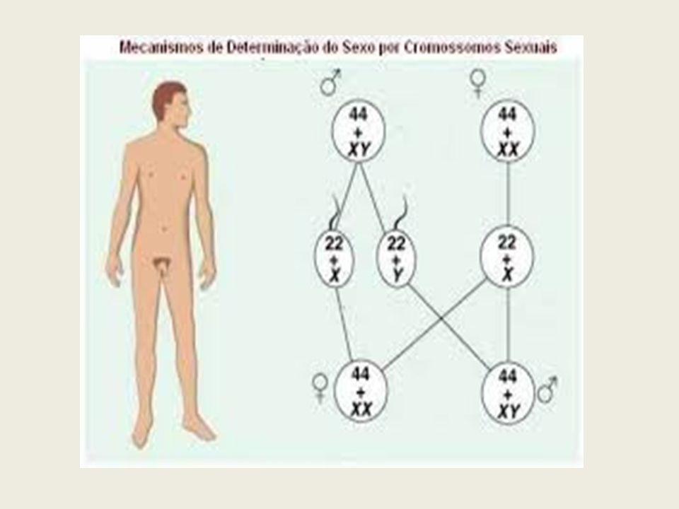 SISTEMA XY Nos organismos cuja diferenciação obedece ao sistema XY, o macho possui, em suas células, dois lotes de cromossomos autossomos (representados por 2A) e mais um par de cromossomos sexuais XY.
