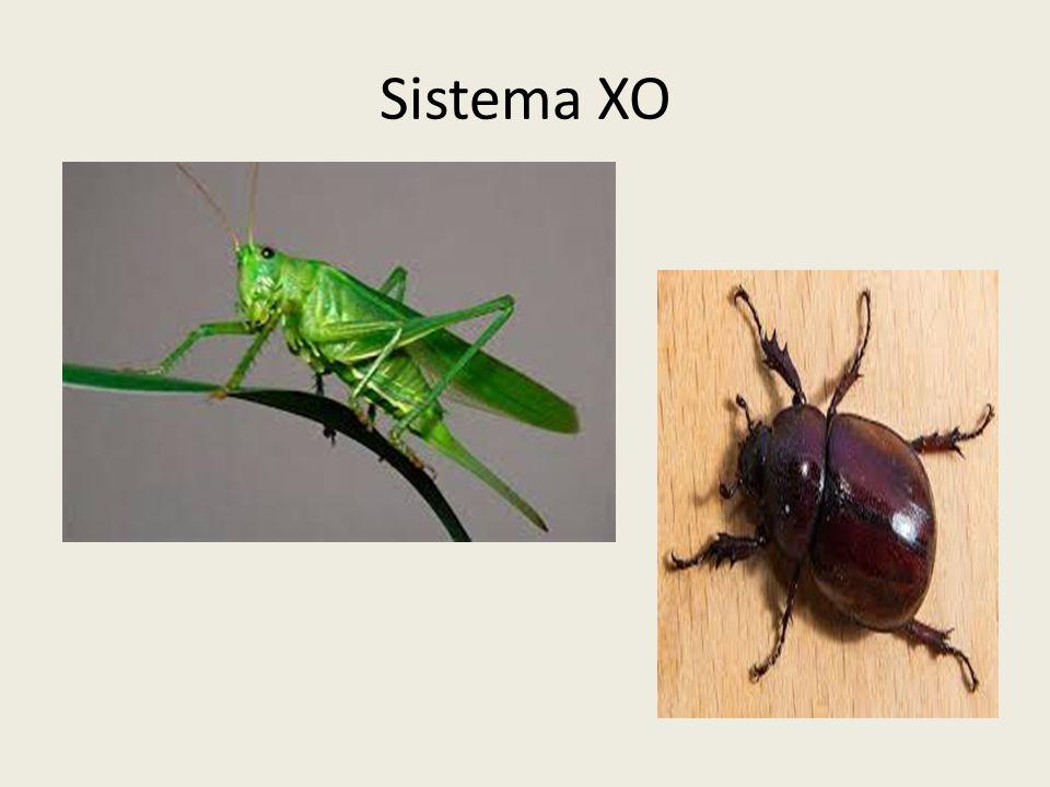 Sistema X0 O sistema de determinação cromossômica do sexo em muitos artrópodes, como besouros e gafanhotos, é conhecido como X0, e o número 0 indica a ausência de um cromossomo.