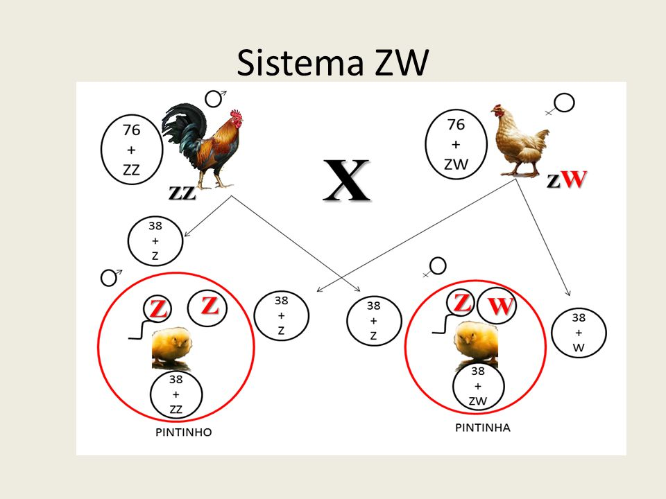 Sistema ZW: