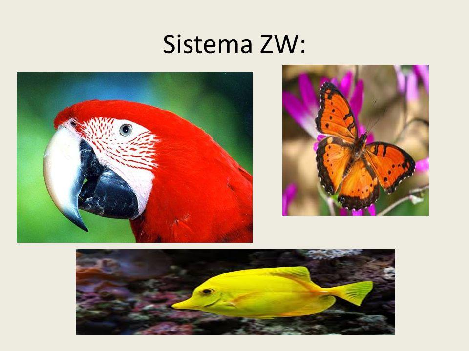 Sistema ZW Nesse sistema, encontrado em insetos, peixes, anfíbios e aves, há uma inversão em relação aos sistemas anteriormente estudados, pois o sexo masculino é homogamético e o feminino é heterogamético.
