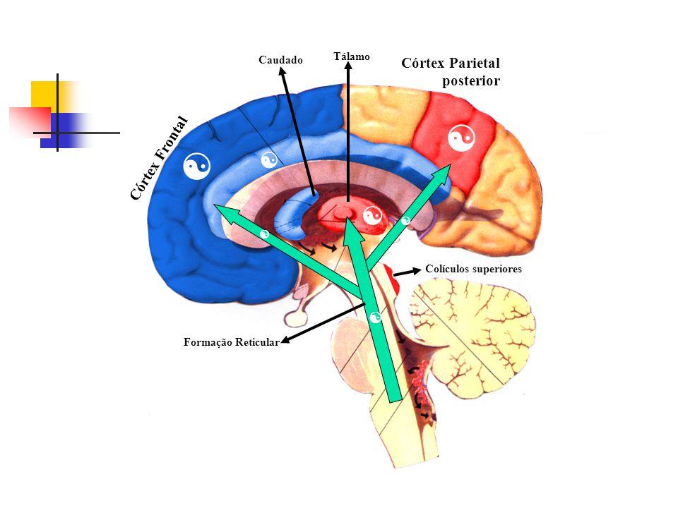 Fig. 2 - Estruturas cerebrais envolvidas nos diferentes sistemas de atenção segundo Gonzales e cols. (1997) e Mesulam (1990)        Gonzales e