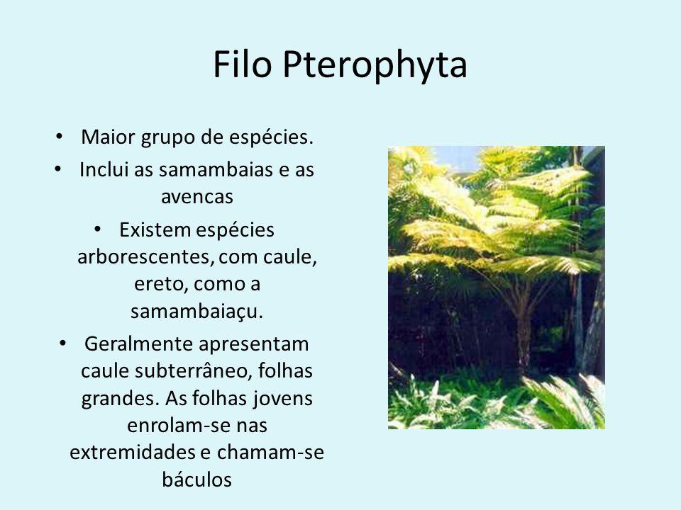 Filo Pterophyta Maior grupo de espécies. Inclui as samambaias e as avencas Existem espécies arborescentes, com caule, ereto, como a samambaiaçu. Geral