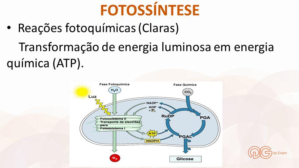 FOTOSSÍNTESE Reações fotoquímicas (Claras) Transformação de energia luminosa em energia química (ATP).