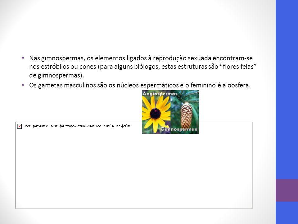 """Nas gimnospermas, os elementos ligados à reprodução sexuada encontram-se nos estróbilos ou cones (para alguns biólogos, estas estruturas são """"flores f"""
