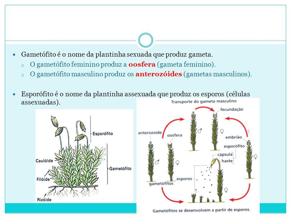 Gametófito é o nome da plantinha sexuada que produz gameta.