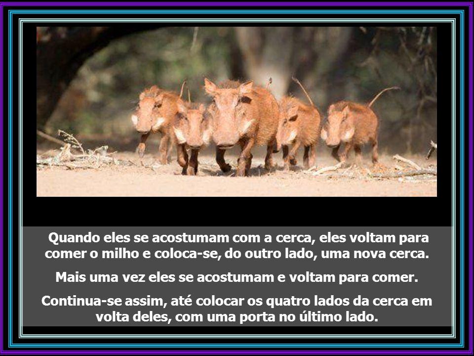 Capturam-se os porcos selvagens encontrando um lugar adequado na floresta e lançando algum milho no chão. Os porcos vêm todos os dias comer o milho gr