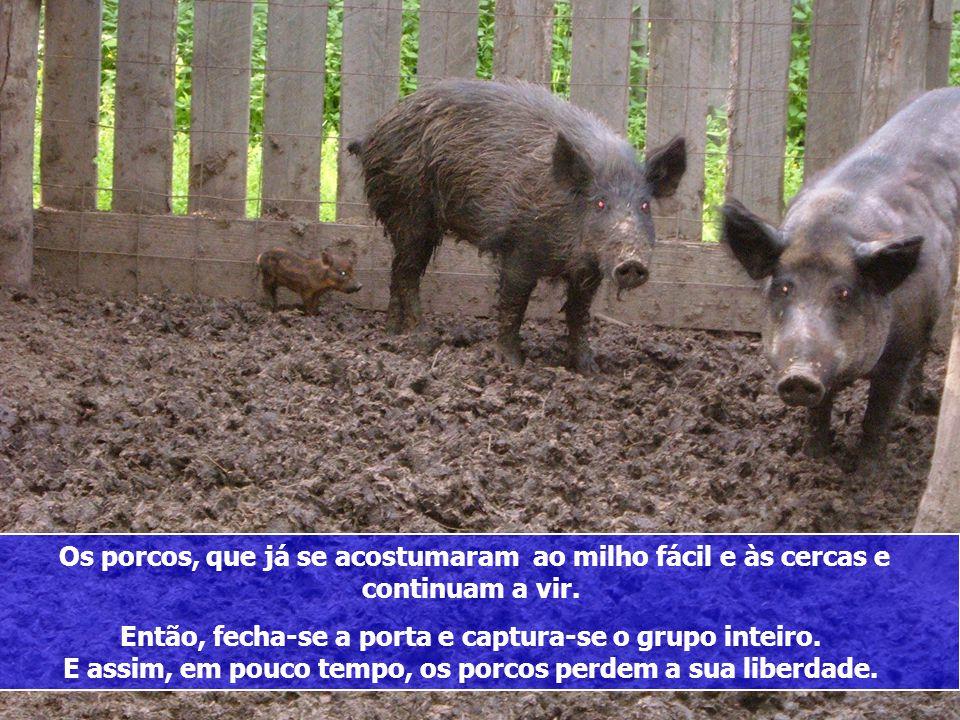 Quando eles se acostumam com a cerca, eles voltam para comer o milho e coloca-se, do outro lado, uma nova cerca. Mais uma vez eles se acostumam e volt