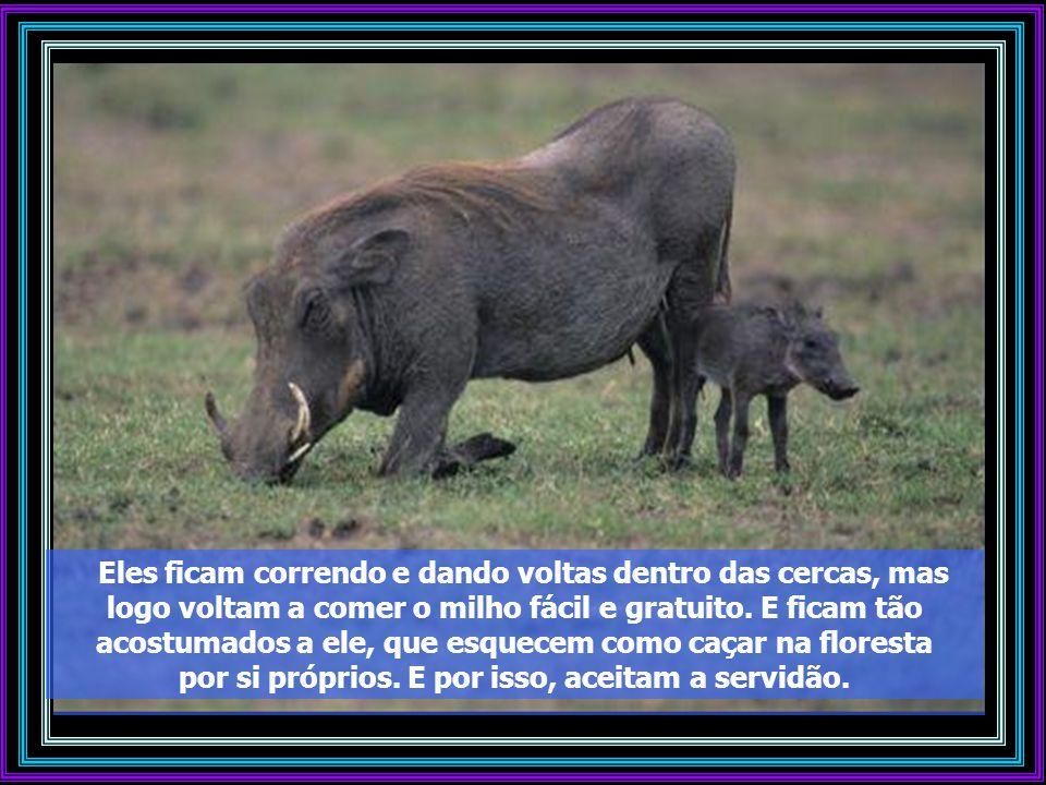 Os porcos, que já se acostumaram ao milho fácil e às cercas e continuam a vir. Então, fecha-se a porta e captura-se o grupo inteiro. E assim, em pouco