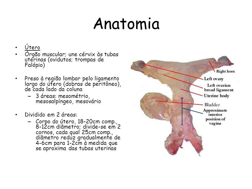Anatomia Útero Órgão muscular; une cérvix às tubas uterinas (ovidutos; trompas de Falópio) Preso à região lombar pelo ligamento largo do útero (dobras