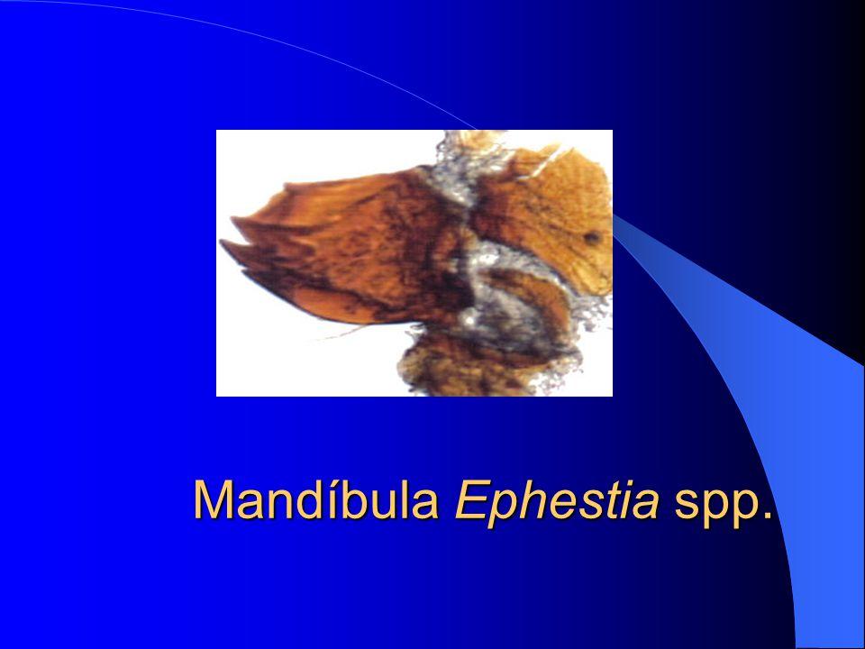 Mandíbula Plodia spp.